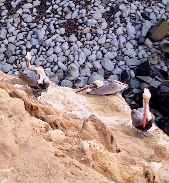 Pelicans2