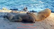 Seals Chillin'-LJ Cove